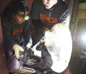 Scene from the Staten Island rescue (ASPCA photo)