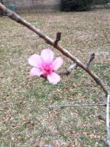 A peach blossom!