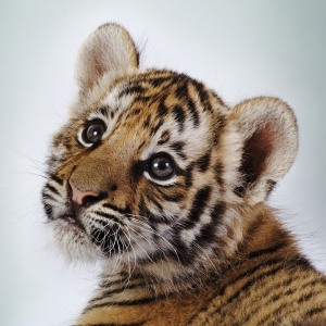 http://goodnature.nathab.com/baby-tigers-have-blue-eyes-and-other-fun-facts/
