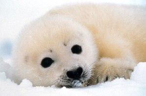 seal_hunt5