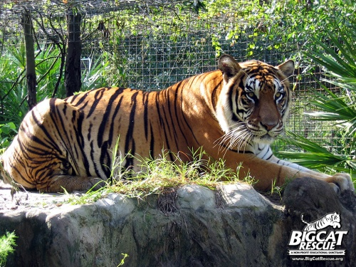 A resident of Big Cat Rescue lounges in the sun (photo courtesy Big Cat Rescue)