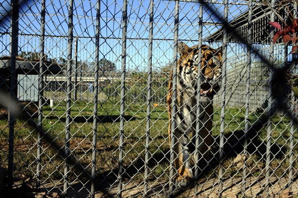 Tony The Tiger is confined at a truck stop in Louisiana. Read his story at http://freetonythetiger.wordpress.com/