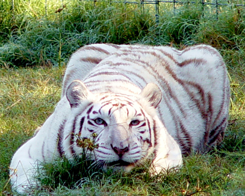 Remember white tigers and ligers do not happen in the wild, but are the result of unscrupulous breeding