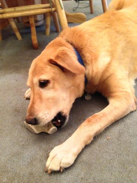 DeDe loves antler chews!