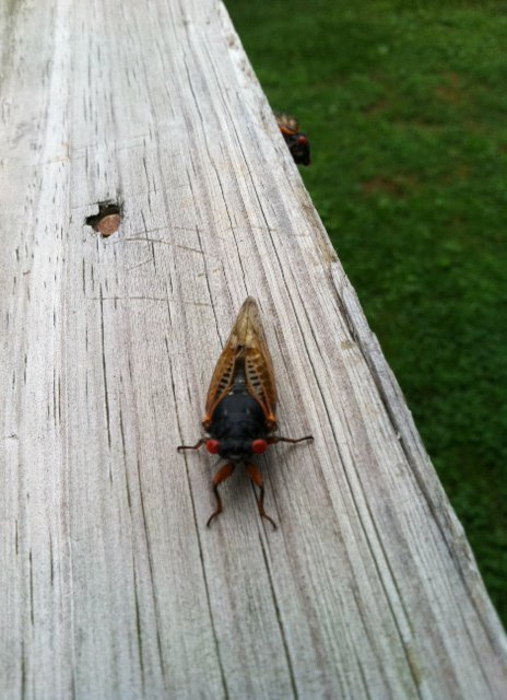 This is a cicada that was in our yard in Tennessee