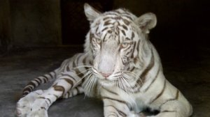 the Tigress Sandy, who has miraculously risen from the dead!