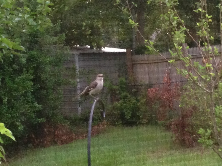 This mockingbird has let us know in no uncertain terms that SHE (or he) rules the back yard! That bird loves to fuss at the cats.