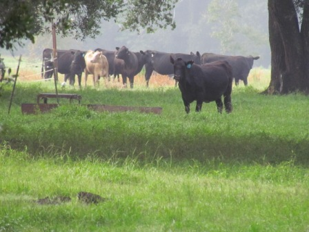 Beef cattle in a field