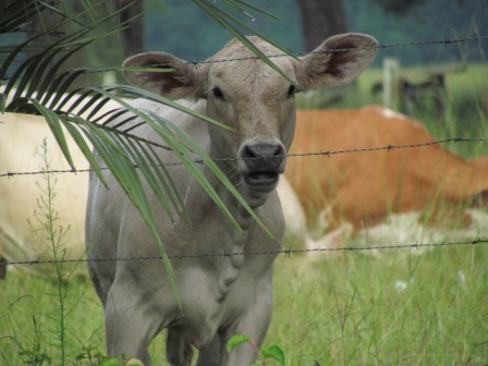 An inquisitive cow (photo by Christina Pumphrey, used with permission)