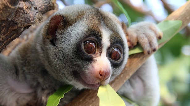 slow loris (photo published at RawStory.com)