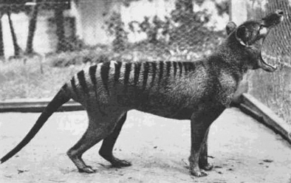 This is a photo of the last thylacine. She died in 1936 in a zoo due neglect.