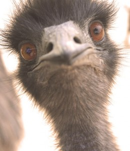 Mary the emu died after being shot in the thigh