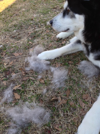 Jen brushed me outside this weekend- I'm blowing my coat!