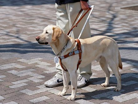 Guide dogs are the most common type of service dog. Photo: Petfinder.com