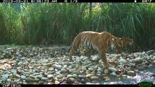 Tigress with cubs, Chitwan National Park  © Government of Nepal-DNPWC/WWF Nepal