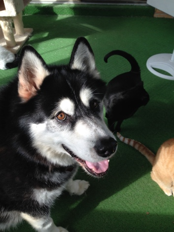 Many huskys and malamutes are bought and then surrendered at shelters because those cute furball babies quickly grow into big dogs that destroy things.