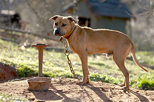 fighting dogs are kept on heavy chains to make them strong (photo by ASPCA)