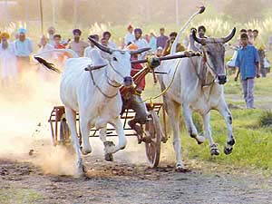 bullocks-cart racing (photo: TribuneIndia.com)
