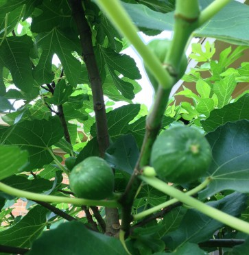The fig trees are loaded with figs!