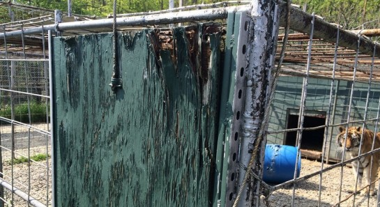 """Kimba was living in this rotting cage and starving at JnK """"Sanctuary"""" in New York before taken in by Big Cat Rescue (photo: Big Cat Rescue)"""