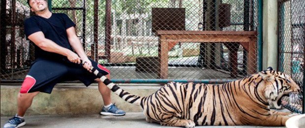 The only way a tiger would allow this is if it were drugged (Photo: Phuketletsgo.com)