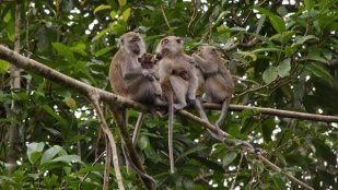 A family of long talk macaques (photo from Vegan-magazine.com)