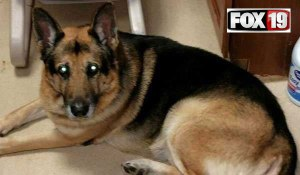 Bela's owner died recently. Her will stipulated her German Shepherd either be placed with Best Friends Animal Society, or euthanized, cremated, and his ashes mixed with hers.