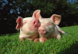 Two sweet little pigs enjoying each other's company on a sunny day (Photo: Peta.org)