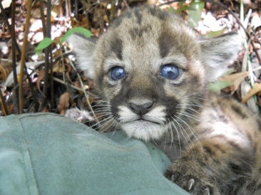 This is a Florida panther kitten. The photo is from the Florida Fish and Wildlife Conservation Commission website.