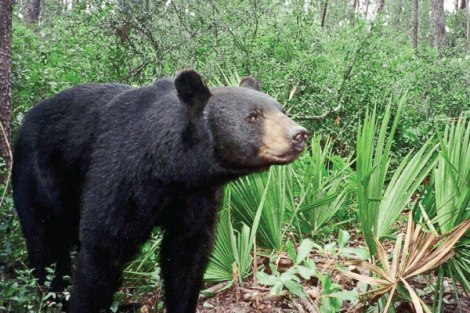Florida Black Bear (from Floridapolitics.com)