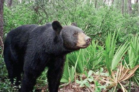 Florida Black Bear (from Floridapolitics.com)