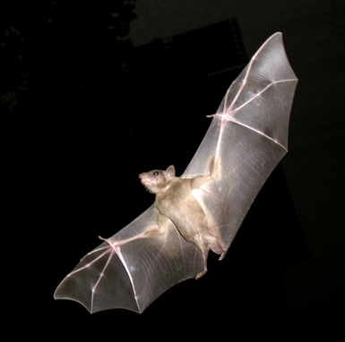 photo of a bat from PikiWiki Israel 11327.