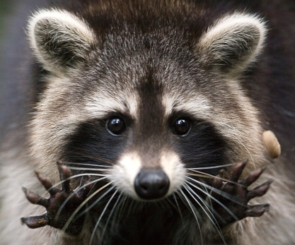 Photo of a raccoon from walkingmountains.org