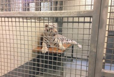 landry tiger