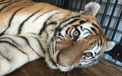 Teisha is a 13-year-old tiger who was owned by Mike Stapleton of Ohio. Stapleton refused to comply with Ohio's new law regarding exotic animal ownership. He surrendered 5 tigers as state officials and law enforcement arrived to forcibly remove them from his care.